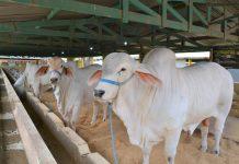Tradicional exposição de animais é atração na 51ª Emapa